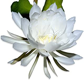 Epiphyllum Oxypetalum - Night Blooming Cereus - Fragrant Orchid Cactus - Well Rooted Plant | Ships from Easy to Grow TM