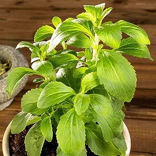 Stevia Organic Seeds up to 10 Seeds