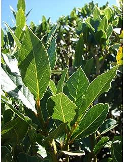 Laurus Nobilis 'Bay Leaf Tree' Laurel Or Sweet Live Plant GG05