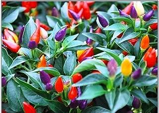 bolivian chilli plant
