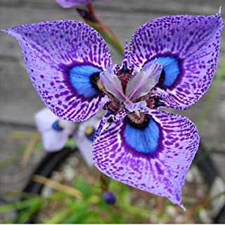 HOTUEEN Phalaenopsis Orchids Seeds Butterfly Orchid Flowers Seeds Flowers