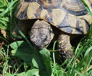 Russian Tortoise Forage Mix Seeds Grow Tort & Herbivore Fodder Plot bin281 (9,600 Seeds)