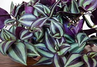 Purple Wandering Jew - Easy to Grow House Plant - Inch Plant - 4