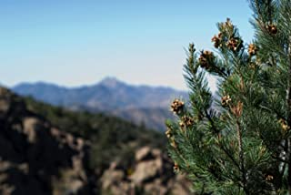 Best pinyon pine seeds Reviews