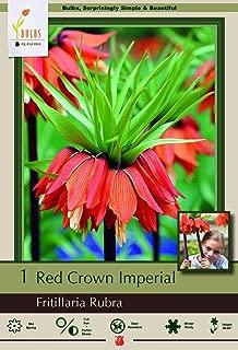 Red Crown Imperial Lily 1 Bulb - Fritillaria rubra Maxim - 20/24 cm Bulb