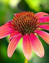 Notebook: echinacea herbs thyme dill basil parsley rosemary fennel coriander herbs oregano