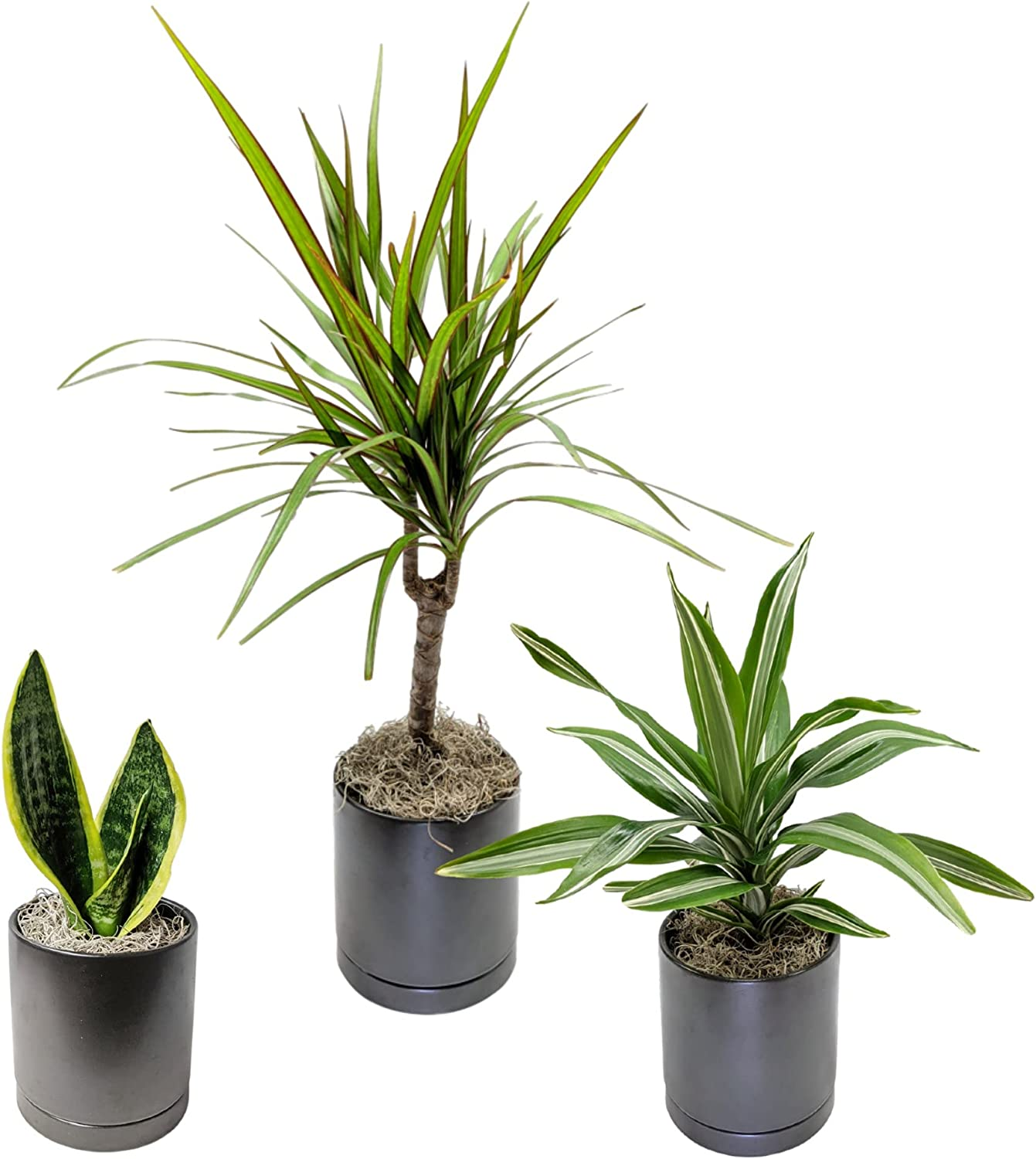 Clean Air half Houseplant Collection in Black Ceramic Pots Sauce with Recommendation