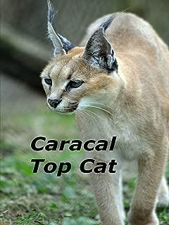Caracal Top Cat