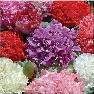 David`s Garden Seeds Flower Poppy Double Mixed 4543 (Multi) 500 Non-GMO, Open Pollinated Seeds