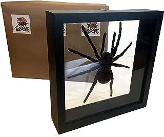 taxidermy spider