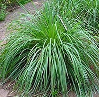 Mosquito Repelling Lemon Grass Plant Seeds 100 Seeds