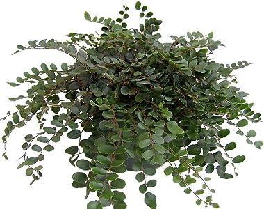 "Hirt's Button Fern - Pellaea rotundifolia - Unusual, Easy to Grow - 4"" Pot"