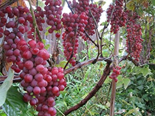 Vanessa Grape Vines - Red Seedless Grapes 2 yr Old Healthy - 3 Bare Root Plants