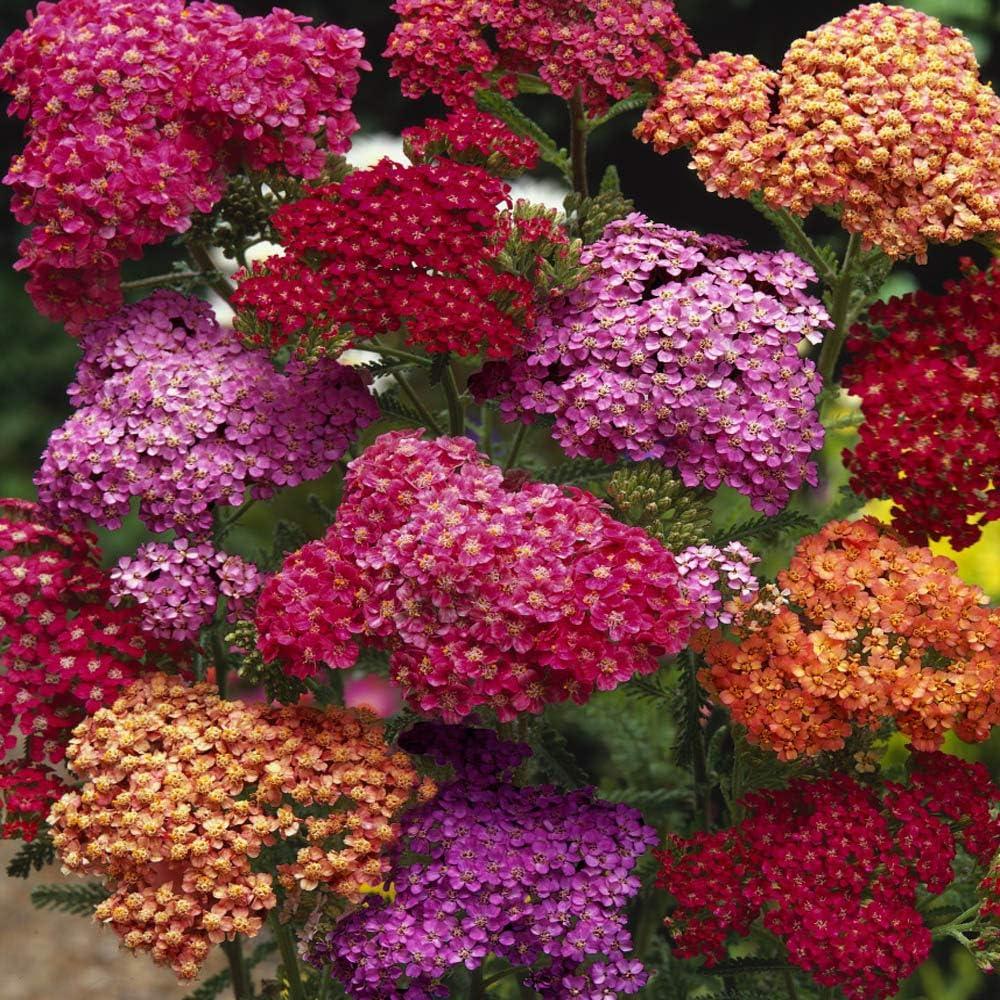 Mixed ACHILLEA Summer Berries Johnsons 21792 Flower Seeds