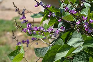 Hyacinth Bean, Vine Purple, Great for Trellis, Drought Tolerant~100 Seeds