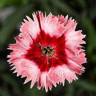 Dianthus Super Parfait Series Flower Seeds - Annual Flower Garden 100 Seeds Strawberry