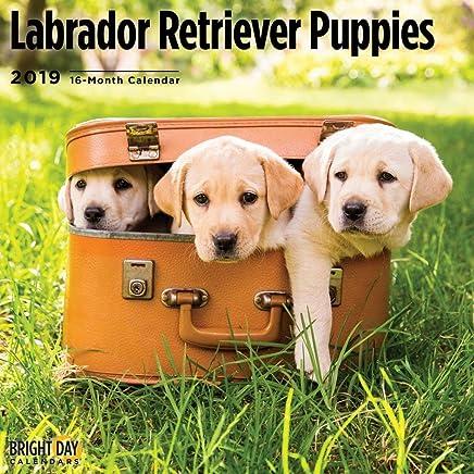 Labrador Retriever Puppies 2019 16 Month Wall Calendar 12 x 12 Inches