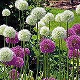 Consegna da 15–08fino a 31–12 Blooms maggio–luglio Fiore di colore viola Foglia di colore verde Fiore colore Mix