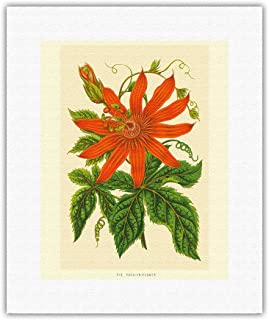 Pacifica Island Art - The Passion Flower (Tacsonia buchanani) - Passiflora Vitifolia - Vintage Botanical Illustration c.1930's - Fine Art Rolled Canvas Print - 11in x 14in