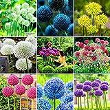 100 púrpura gigante Allium giganteum Semillas hermoso jardín de flores de la planta de la tasa de 95% en ciernes de flores raras para el cabrito