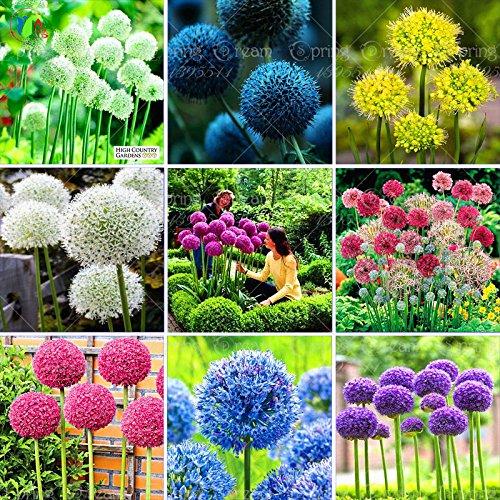 100 Violet géant Allium Giganteum Belle Graines de fleurs Jardin des plantes en herbe le taux de 95% de fleurs rares pour enfants