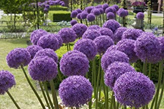Van Zyverden 87126 Allium Globemaster Set of 1 Bulbs, 22/+ cm, Lavendar