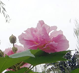 Futaba®Hibicu Mutabiliアオイ科Deciduouのhrubやモールの種500種