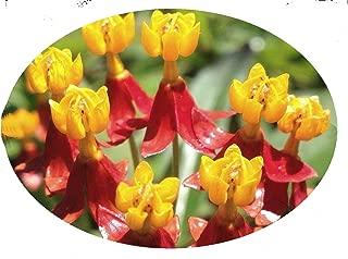 Milkweed Orange Live Semi-Tropical Plant Butterfly Garden Host Asclepias Plant Starter Size 4 Inch Pot