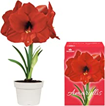 Unique Amaryllis Grow Kit | Grow Your Own Beautiful Red Amaryllis Flower in Just Weeks | Great Business, Holiday and Christmas Gift Item | Complete Grow kit | TotalGreen Holland