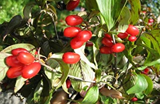 Nianyan Cornus Creeping Dogwood Dogberry Cornel 10 Seeds (Ground Cover)