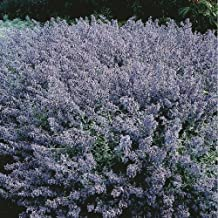 Catmint - Nepeta mussinii - 2500 Seeds
