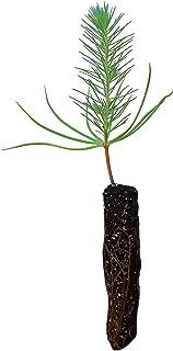 Italian Stone Pine | Small Tree Seedling | The Jonsteen Company