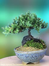 A 5+ Year Old Juniper Bonsai Tree in Japanese Setku Bowl
