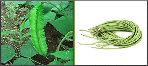 OhhSome Combo Pack - 10 Seeds Each Of Rarest Goa Bean (Psophocarpus Tetragonolobus) And Hybrid Yard Long Bean For Growing - Eco
