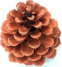 Natural Ponderosa Pine Cones Box 16+ Hand Selected 4 to 5 Inch Tall