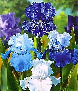10 Mixed Iris Bulbs Reblooming Iris Rhizome - Elegant Bloom Perennial Bearded Iris Flower Bulbs