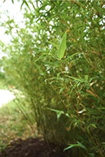30pcs 'Golden Goddess' Non-Invasive Clumping Bamboo Root Division (Bambusa multiplex) Small Privacy Screen or Hedge