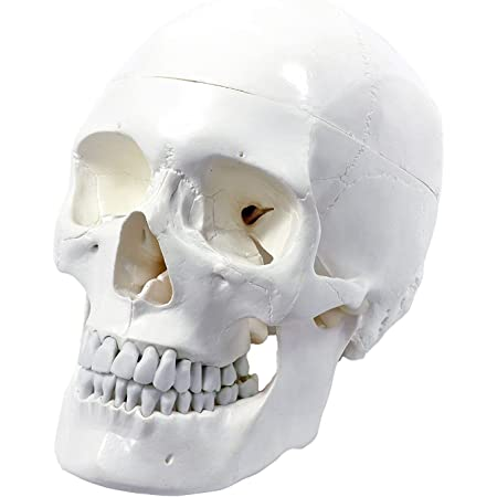 Medical Anatomical Human Skull Model High Quality, Classic, 3-part, Life  Size: Amazon.in: Industrial & Scientific