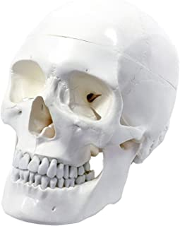 Wellden Medical Anatomical Human Skull Model, Classic, 3-part, Life Size