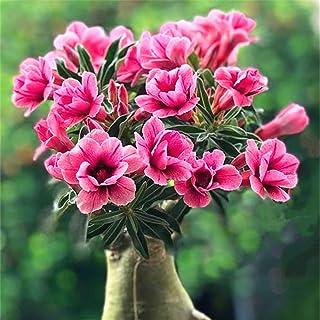 砂漠バラの球茎-麗しい色の花 壮観な花 ホームガーデンコレクション 絶好の鉢植え花壇材料-2 球茎