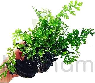 Mainam Mini Bobiltis Planted on Driftwood 2-4
