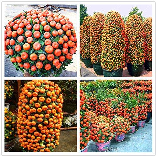 20pcs / sac graines orange escalade bonsaï graines d'oranger graines de fruits bio comme un pot d'arbre de Noël pour plantes de jardin à domicile