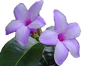 India Rubber Flowering Tropical Vine Live Plant Lavender Purple Bloom Starter Size 4 Inch Pot Emerald TM