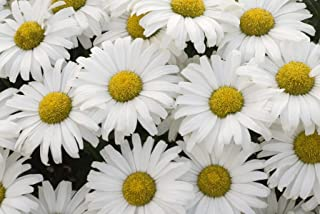 Proven Winners - Leucanthemum AMAZING DAISIES Daisy May (Shasta Daisy) Perennial, white flowers, 1 - Size Container