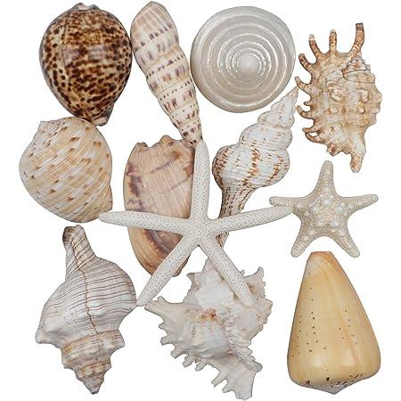 12 pièces Grands coquillages Mélange de coquillages de plage et d'étoiles de mer,Coquillage naturels étoiles de mer jusqu'à 16 cm,Grands coquillages parfaits pour la décoration d'aquarium de bricolage