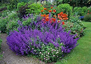 Catmint Seeds- Nepeta mussinii - Hardy Perennial, Blooms Every Year
