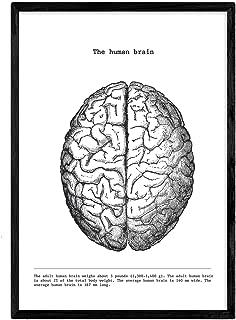 Nacnic Poster de Cerebro craneo. Anatomia del Cuerpo Humano. Musculos y Huesos. Láminas con Partes del Cuerpo Humano. Tamaño A3