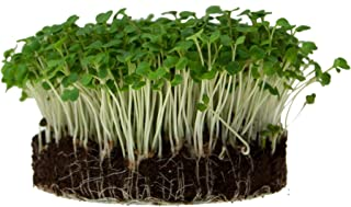 Arugula Microgreens Seeds - Non-GMO Bulk Seed for Growing Micros, Indoor Gardening, Garden Greens, Micro/Baby Salad (1 Lb)