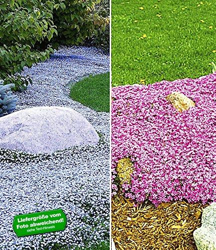 BALDUR-Garten Winterhart Bodendecker-Kollektion pink und blau, 3 Pflanzen Isotoma Blue Foot® und 3 Pflanzen Teppichphlox Emerald Pink