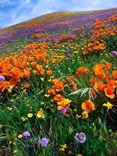 California Poppy and other wildflowers growing on hillside spring Antelope Valley California - Ve Poster Print by Tim Fitzharris (18 x 24)